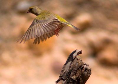 Verderón en vuelo